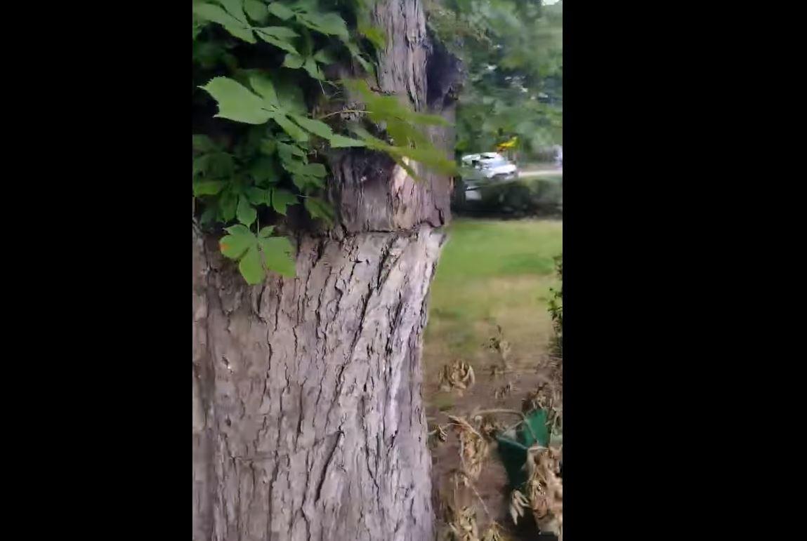 drzewo do wyciecia